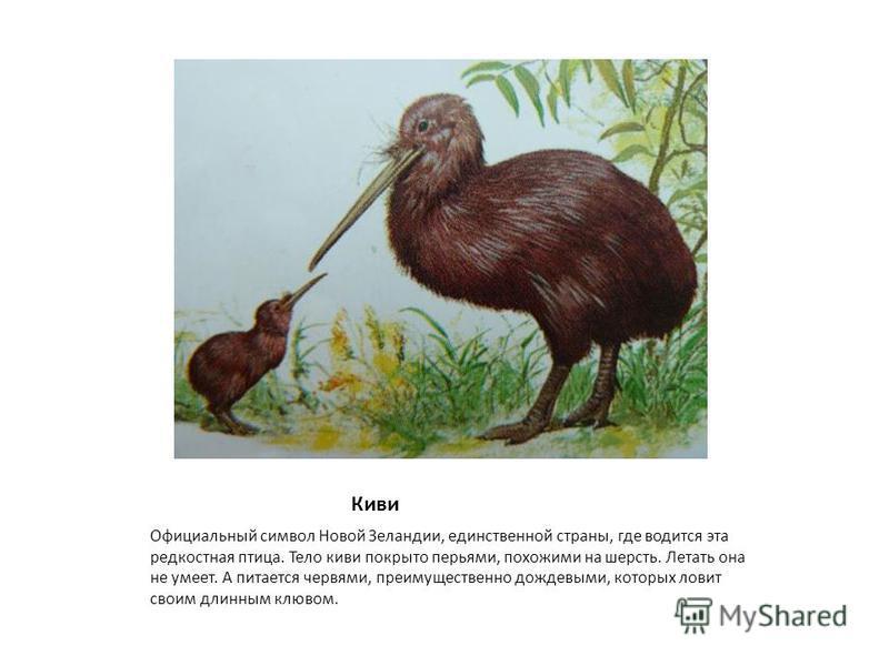 Киви Официальный символ Новой Зеландии, единственной страны, где водится эта редкостная птица. Тело киви покрыто перьями, похожими на шерсть. Летать она не умеет. А питается червями, преимущественно дождевыми, которых ловит своим длинным клювом.