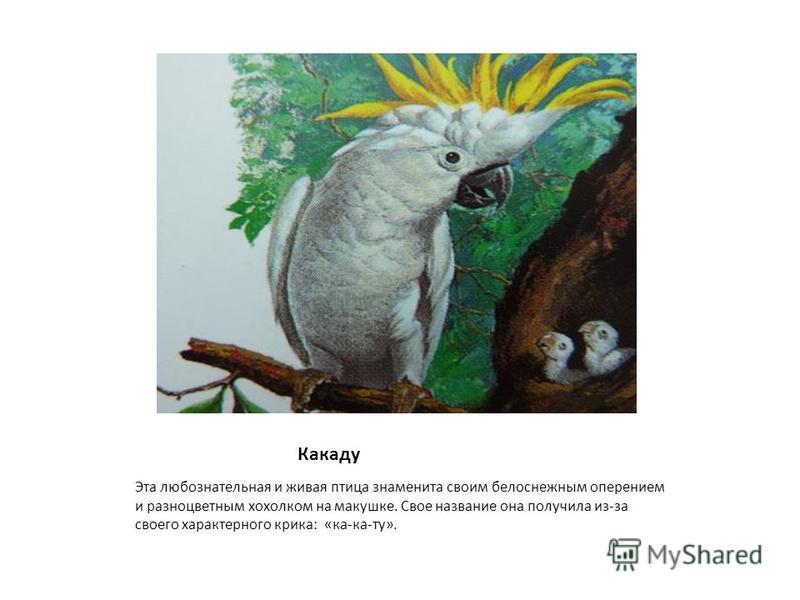 Какаду Эта любознательная и живая птица знаменита своим белоснежным оперением и разноцветным хохолком на макушке. Свое название она получила из-за своего характерного крика: «ка-ка-ту».