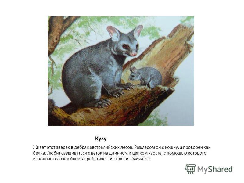Кузу Живет этот зверек в дебрях австралийских лесов. Размером он с кошку, а проворен как белка. Любит свешиваться с веток на длинном и цепком хвосте, с помощью которого исполняет сложнейшие акробатические трюки. Сумчатое.