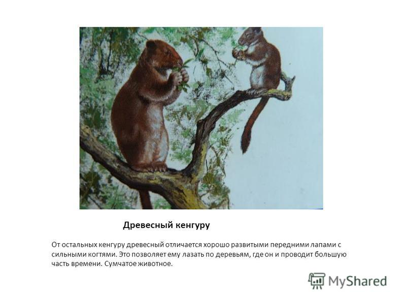 Древесный кенгуру От остальных кенгуру древесный отличается хорошо развитыми передними лапами с сильными когтями. Это позволяет ему лазать по деревьям, где он и проводит большую часть времени. Сумчатое животное.