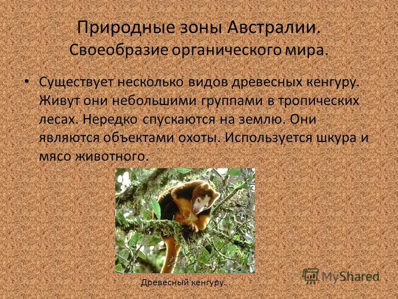 Природные зоны Австралии. Своеобразие органического мира. Существует несколько видов древесных кенгуру. Живут они небольшими группами в тропических лесах. Нередко спускаются на землю. Они являются объектами охоты. Используется шкура и мясо животного.
