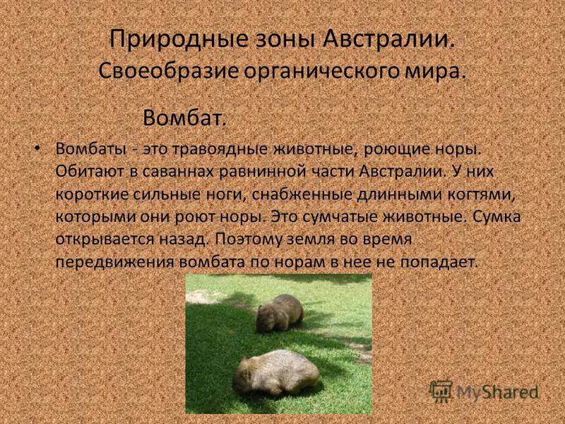 Природные зоны Австралии. Своеобразие органического мира. Вомбат. Вомбаты - это травоядные животные, роющие норы. Обитают в саваннах равнинной части Австралии. У них короткие сильные ноги, снабженные длинными когтями, которыми они роют норы. Это сумч