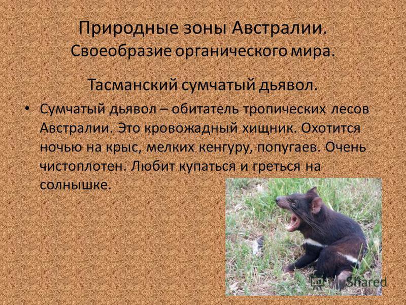 Природные зоны Австралии. Своеобразие органического мира. Тасманский сумчатый дьявол. Сумчатый дьявол – обитатель тропических лесов Австралии. Это кровожадный хищник. Охотится ночью на крыс, мелких кенгуру, попугаев. Очень чистоплотен. Любит купаться