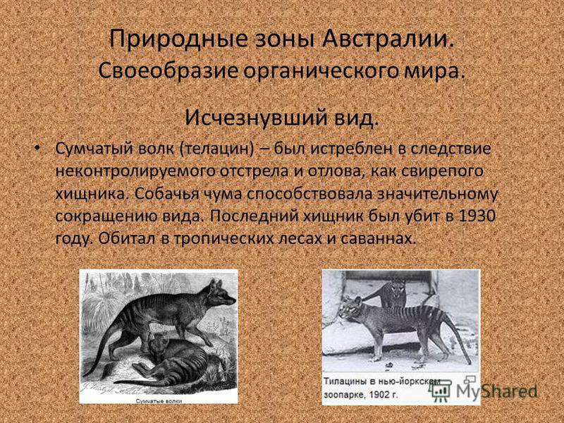 Природные зоны Австралии. Своеобразие органического мира. Исчезнувший вид. Сумчатый волк (телацин) – был истреблен в следствие неконтролируемого отстрела и отлова, как свирепого хищника. Собачья чума способствовала значительному сокращению вида. Посл