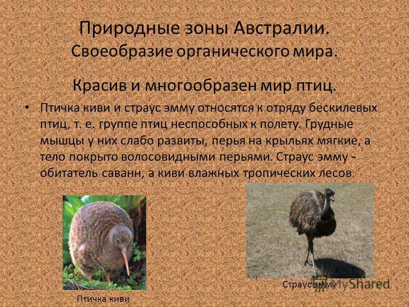 Природные зоны Австралии. Своеобразие органического мира. Красив и многообразен мир птиц. Птичка киви и страус эмму относятся к отряду бескилевых птиц, т. е. группе птиц неспособных к полету. Грудные мышцы у них слабо развиты, перья на крыльях мягкие