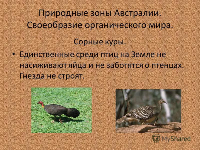 Природные зоны Австралии. Своеобразие органического мира. Сорные куры. Единственные среди птиц на Земле не насиживают яйца и не заботятся о птенцах. Гнезда не строят.
