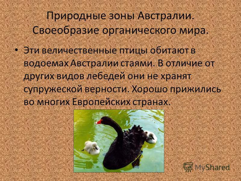 Природные зоны Австралии. Своеобразие органического мира. Эти величественные птицы обитают в водоемах Австралии стаями. В отличие от других видов лебедей они не хранят супружеской верности. Хорошо прижились во многих Европейских странах.