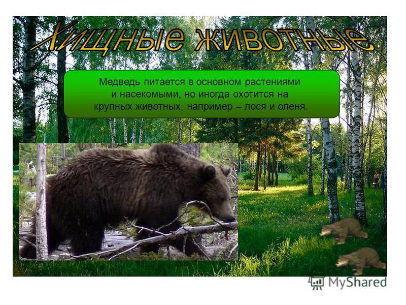 Медведь питается в основном растениями и насекомыми, но иногда охотится на крупных животных, например – лося и оленя.