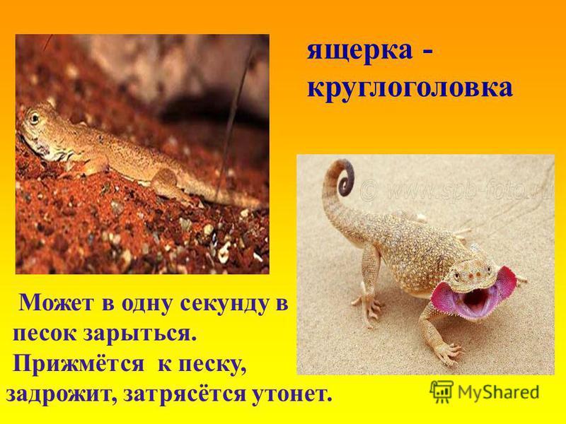 ящерка - круглоголовка Может в одну секунду в песок зарыться. Прижмётся к песку, задрожит, затрясётся утонет.