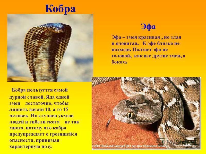 Кобра Кобра пользуется самой дурной славой. Яда одной змеи достаточно, чтобы лишить жизни 10, а то 15 человек. Но случаев укусов людей и гибели скота не так много, потому что кобра предупреждает о грозящейся опасности, принимая характерную позу. Эфа