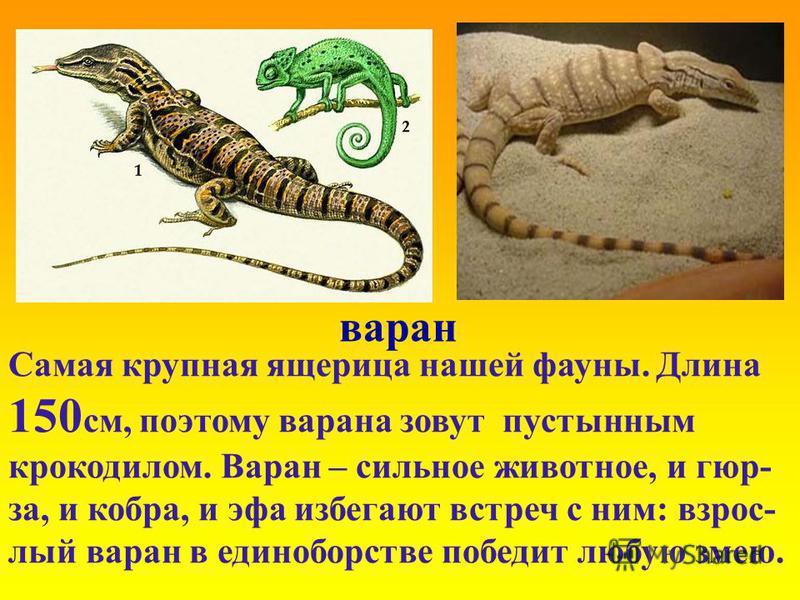 варан Самая крупная ящерица нашей фауны. Длина 150 см, поэтому варана зовут пустынным крокодилом. Варан – сильное животное, и гюрза, и кобра, и эфа избегают встреч с ним: взрослый варан в единоборстве победит любую змею.