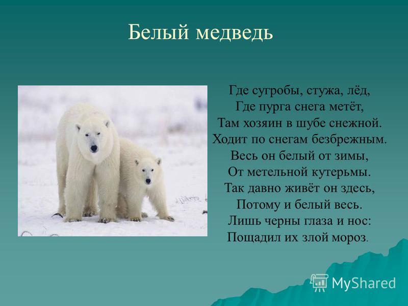 Белый медведь Где сугробы, стужа, лёд, Где пурга снега метёт, Там хозяин в шубе снежной. Ходит по снегам безбрежным. Весь он белый от зимы, От метельной кутерьмы. Так давно живёт он здесь, Потому и белый весь. Лишь черны глаза и нос: Пощадил их злой