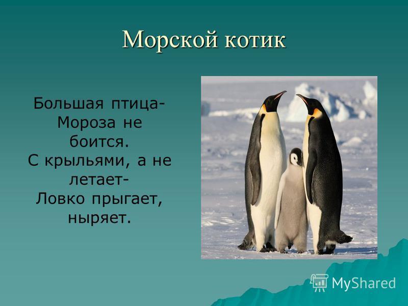 Морской котик Большая птица- Мороза не боится. С крыльями, а не летает- Ловко прыгает, ныряет.