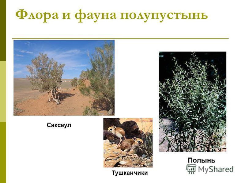 Флора и фауна полупустынь Полынь Саксаул Тушканчики