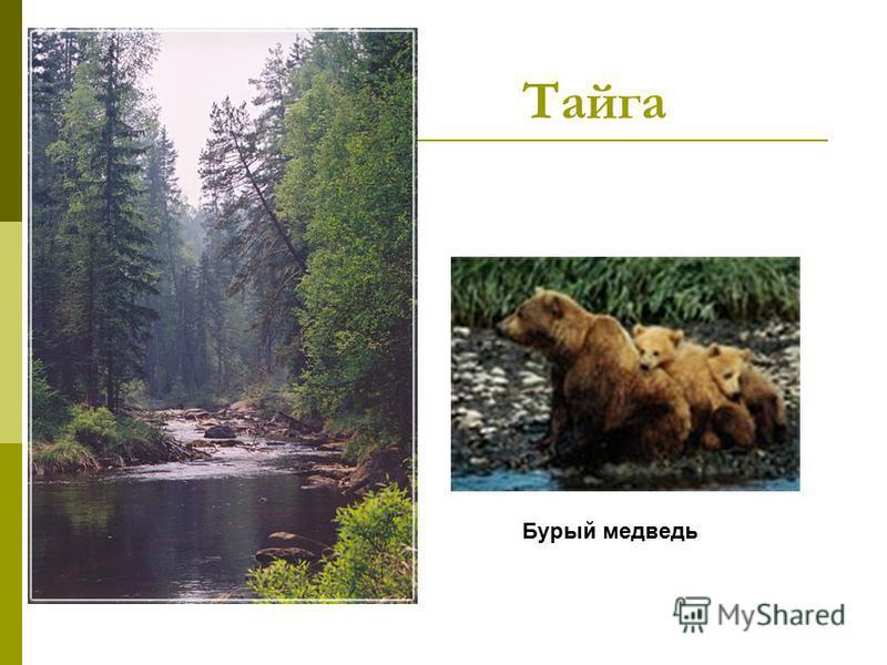 Тайга Бурый медведь