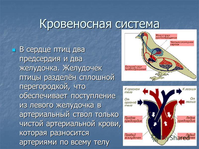 Кровеносная система В сердце птиц два предсердия и два желудочка. Желудочек птицы разделён сплошной перегородкой, что обеспечивает поступление из левого желудочка в артериальный ствол только чистой артериальной крови, которая разносится артериями по