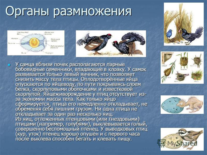 Органы размножения У самца вблизи почек располагаются парные бобовидные семенники, впадающие в клоаку. У самок развивается только левый яичник, что позволяет снизить массу тела птицы. Оплодотворённые яйца опускаются по яйцеводу, по пути покрываясь сл