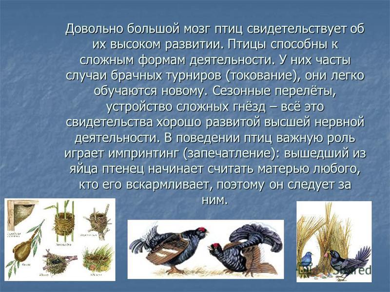 Довольно большой мозг птиц свидетельствует об их высоком развитии. Птицы способны к сложным формам деятельности. У них часты случаи брачных турниров (токование), они легко обучаются новому. Сезонные перелёты, устройство сложных гнёзд – всё это свидет