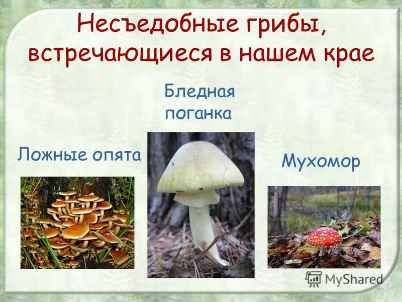 Несъедобные грибы, встречающиеся в нашем крае Ложные опята Бледная поганка Мухомор