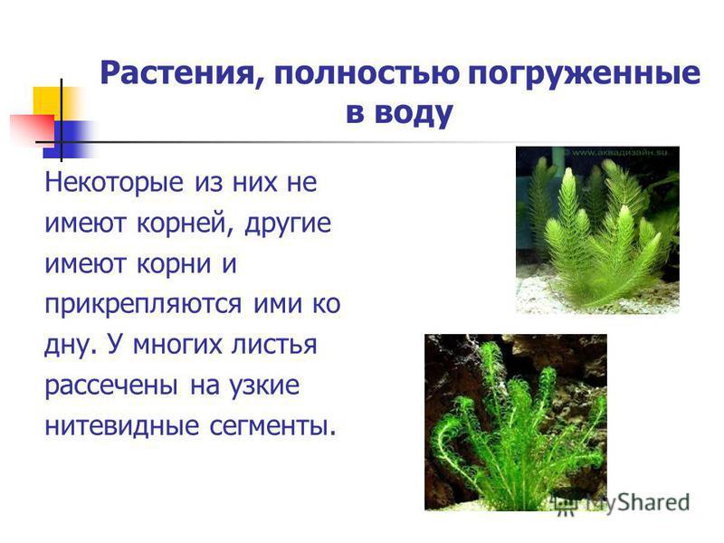 Растения, полностью погруженные в воду Некоторые из них не имеют корней, другие имеют корни и прикрепляются ими ко дну. У многих листья рассечены на узкие нитевидные сегменты.