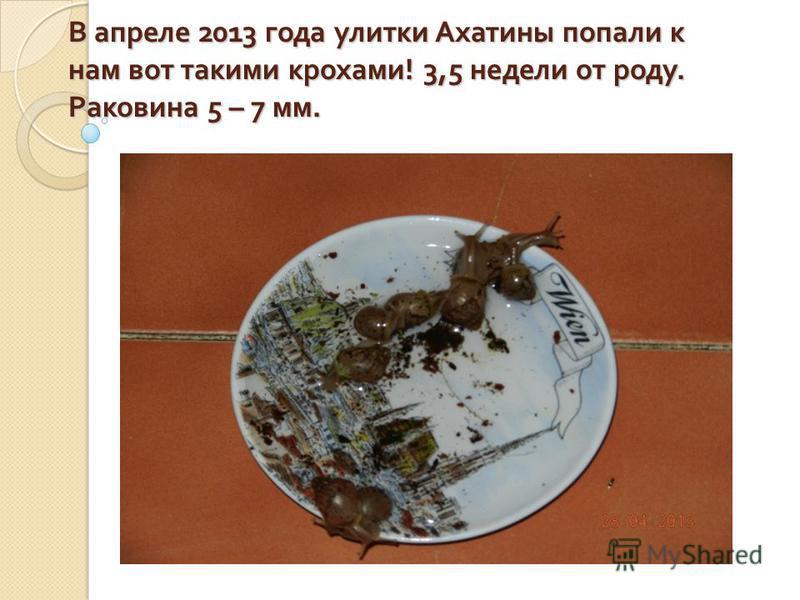 В апреле 2013 года улитки Ахатины попали к нам вот такими крохами ! 3,5 недели от роду. Раковина 5 – 7 мм.