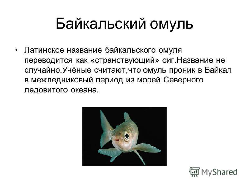 Байкальский омуль Латинское название байкальского омуля переводится как «странствующий» сиг.Название не случайно.Учёные считают,что омуль проник в Байкал в межледниковый период из морей Северного ледовитого океана.