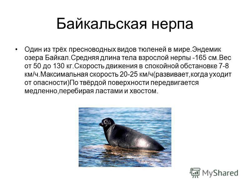 Байкальская нерпа Один из трёх пресноводных видов тюленей в мире.Эндемик озера Байкал.Средняя длина тела взрослой нерпы -165 см.Вес от 50 до 130 кг.Скорость движения в спокойной обстановке 7-8 км/ч.Максимальная скорость 20-25 км/ч(развивает,когда ухо