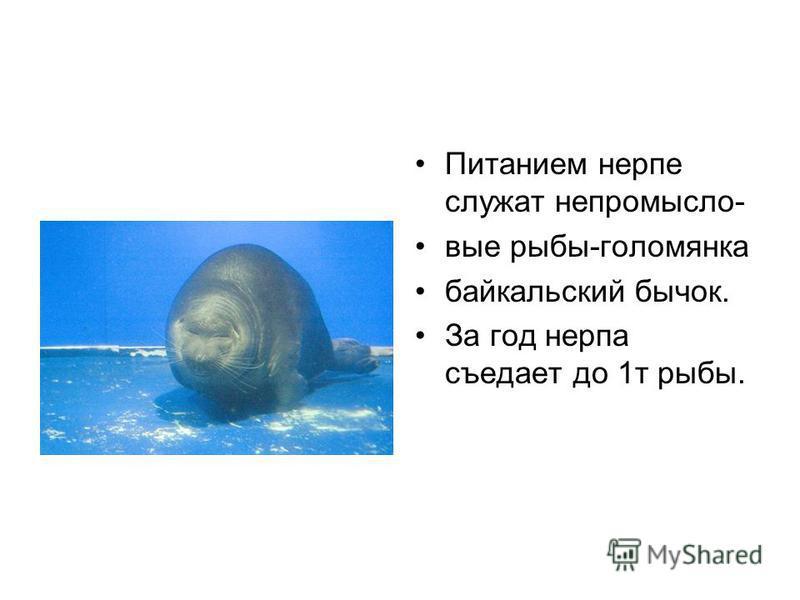 Питанием нерпе служат не промысловые рыбы-голомянка байкальский бычок. За год нерпа съедает до 1 т рыбы.