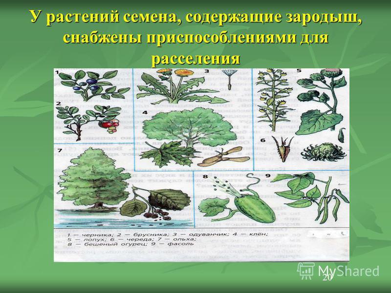 У растений семена, содержащие зародыш, снабжены приспособлениями для расселения 20