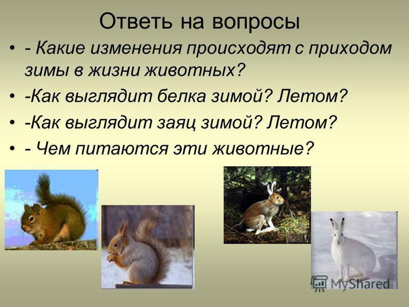 Ответь на вопросы - Какие изменения происходят с приходом зимы в жизни животных? -Как выглядит белка зимой? Летом? -Как выглядит заяц зимой? Летом? - Чем питаются эти животные?