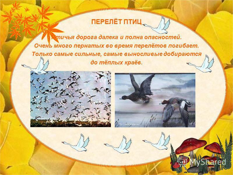 ПЕРЕЛЁТ ПТИЦ Птичья дорога далека и полна опасностей. Очень много пернатых во время перелётов погибает. Только самые сильные, самые выносливые добираются до тёплых краёв.