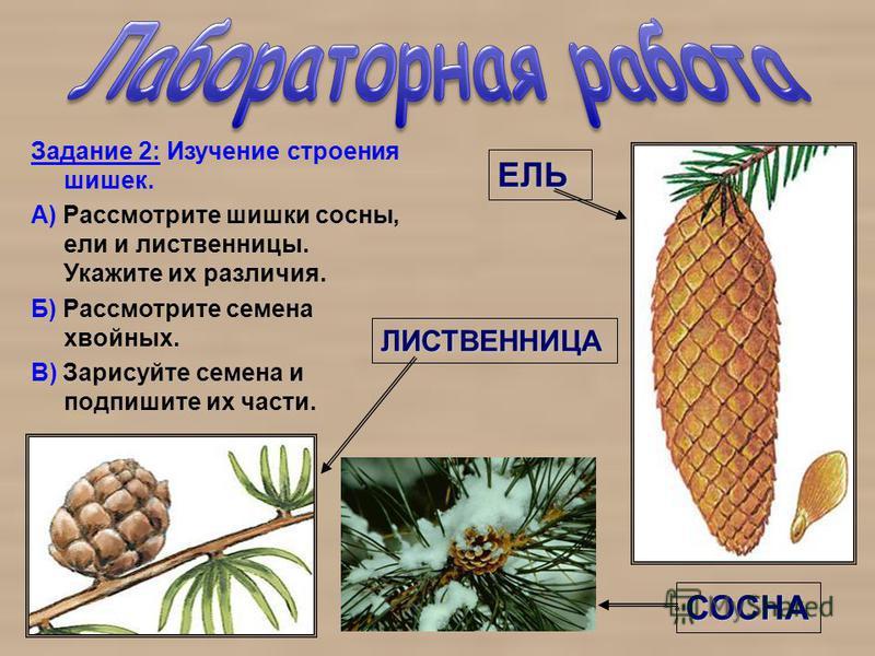 Задание 2: Изучение строения шишек. А) Рассмотрите шишки сосны, ели и лиственницы. Укажите их различия. Б) Рассмотрите семена хвойных. В) Зарисуйте семена и подпишите их части. ЕЛЬ СОСНА ЛИСТВЕННИЦА