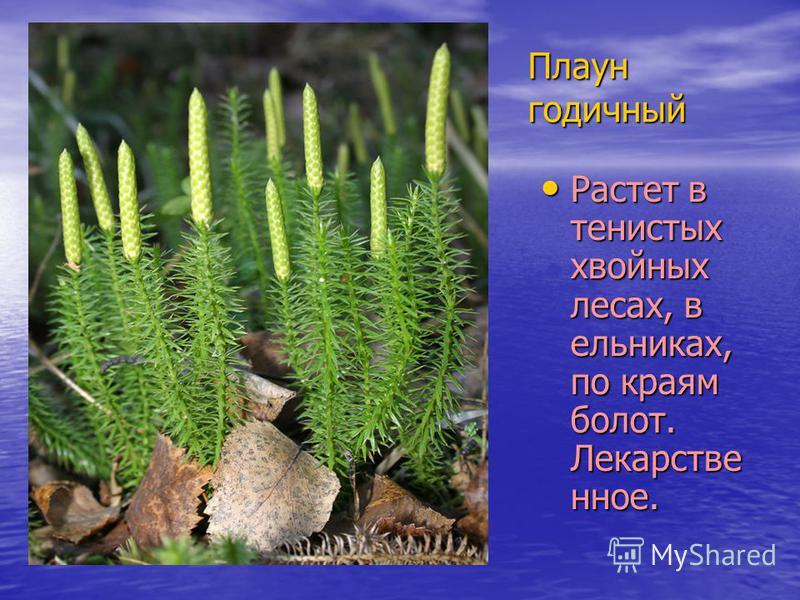 Плаун годичный Растет в тенистых хвойных лесах, в ельниках, по краям болот. Лекарстве нное. Растет в тенистых хвойных лесах, в ельниках, по краям болот. Лекарстве нное.
