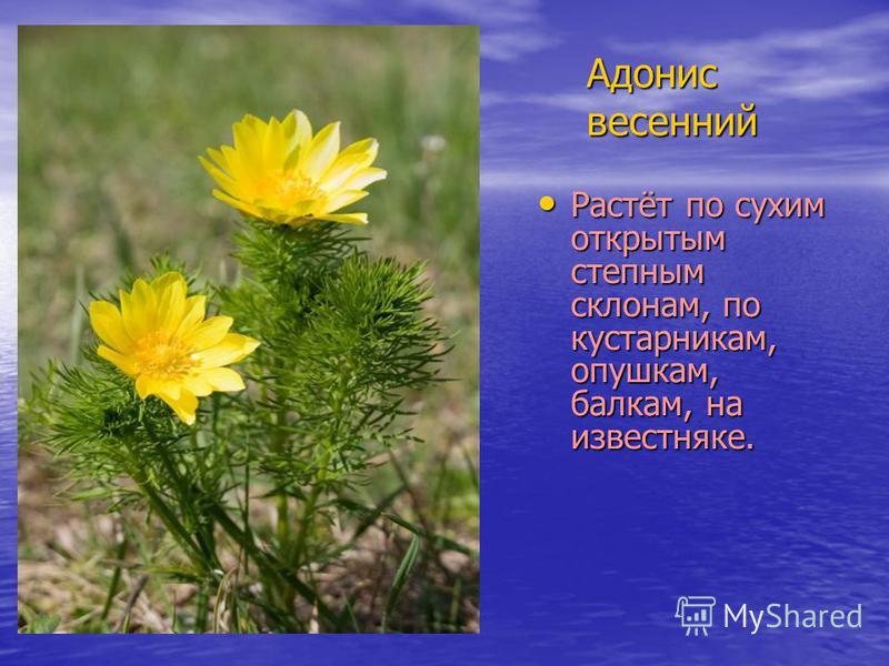 Адонис весенний Растёт по сухим открытым степным склонам, по кустарникам, опушкам, балкам, на известняке. Растёт по сухим открытым степным склонам, по кустарникам, опушкам, балкам, на известняке.