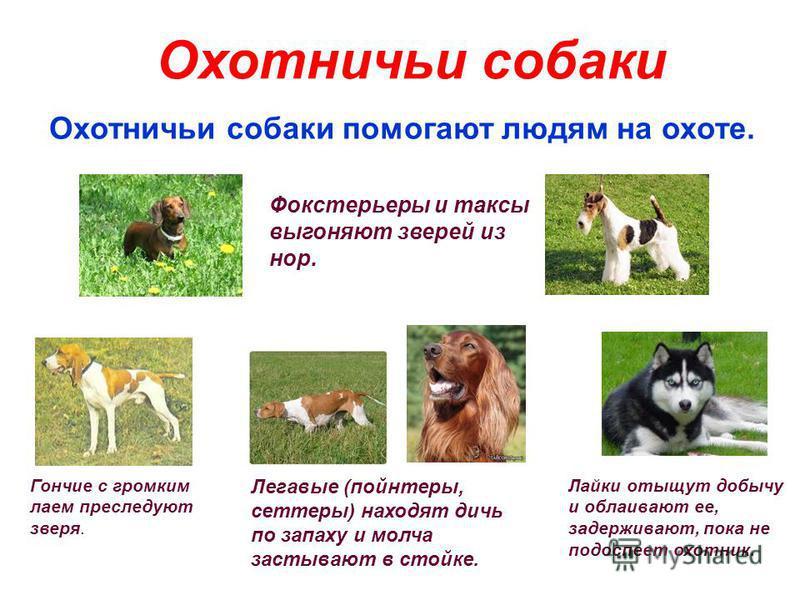 Охотничьи собаки Охотничьи собаки помогают людям на охоте. Фокстерьеры и таксы выгоняют зверей из нор. Лайки отыщут добычу и облаивают ее, задерживают, пока не подоспеет охотник. Гончие с громким лаем преследуют зверя. Легавые (пойнтеры, сеттеры) нах