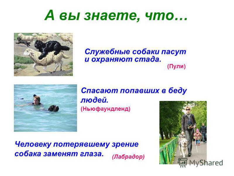 А вы знаете, что… Служебные собаки пасут и охраняют стада. Спасают попавших в беду людей. Человеку потерявшему зрение собака заменят глаза. (Пули) (Ньюфаундленд) (Лабрадор)
