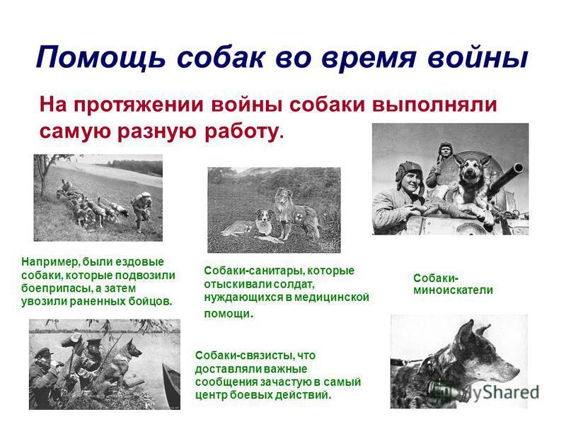 Помощь собак во время войны На протяжении войны собаки выполняли самую разную работу. Например, были ездовые собаки, которые подвозили боеприпасы, а затем увозили раненных бойцов. Собаки- миноискатели Собаки-связисты, что доставляли важные сообщения