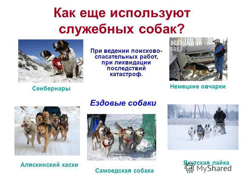 Как еще используют служебных собак? При ведении поисково- спасательных работ, при ликвидации последствий катастроф. Ездовые собаки Сенбернары Немецкие овчарки Аляскинский хаски Самоедская собака Якутская лайка