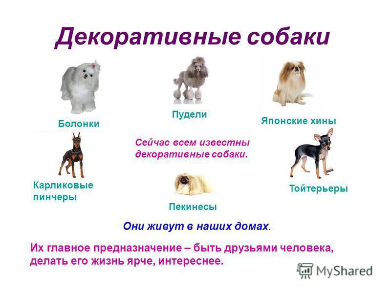 Декоративные собаки Сейчас всем известны декоративные собаки. Они живут в наших домах. Их главное предназначение – быть друзьями человека, делать его жизнь ярче, интереснее. Болонки Тойтерьеры Карликовые пинчеры Японские хины Пекинесы Пудели