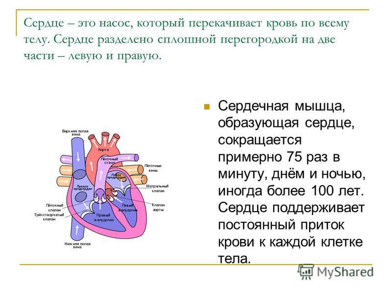 Сердце – это насос, который перекачивает кровь по всему телу. Сердце разделено сплошной перегородкой на две части – левую и правую. Сердечная мышца, образующая сердце, сокращается примерно 75 раз в минуту, днём и ночью, иногда более 100 лет. Сердце п