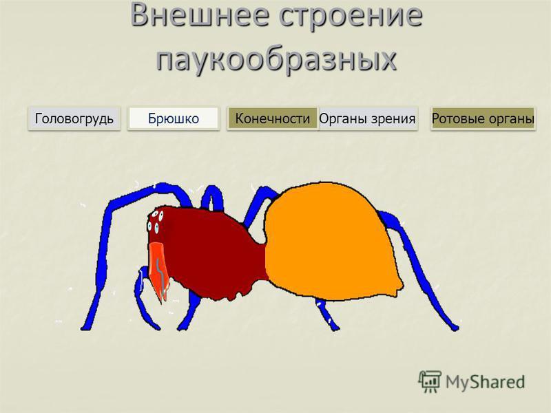 Внешнее строение паукообразных Брюшко Головогрудь Органы зрения Конечности Ротовые органы