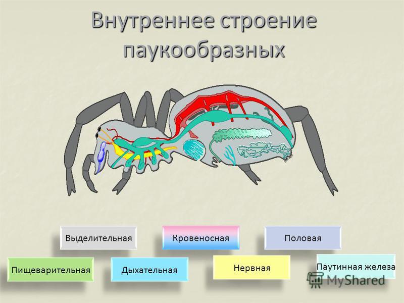 Внутреннее строение паукообразных Выделительная КровеноснаяПоловая Нервная ДыхательнаяПищеварительная Паутинная железа