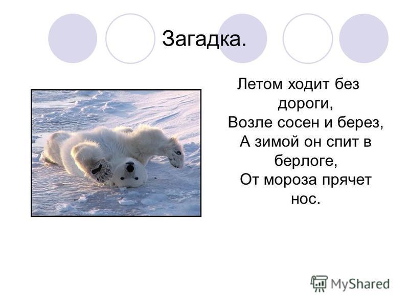 Загадка. Летом ходит без дороги, Возле сосен и берез, А зимой он спит в берлоге, От мороза прячет нос.