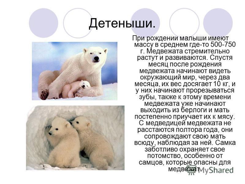 Детеныши. При рождении малыши имеют массу в среднем где-то 500-750 г. Медвежата стремительно растут и развиваются. Спустя месяц после рождения медвежата начинают видеть окружающий мир, через два месяца, их вес досягает 10 кг, и у них начинают прорезы
