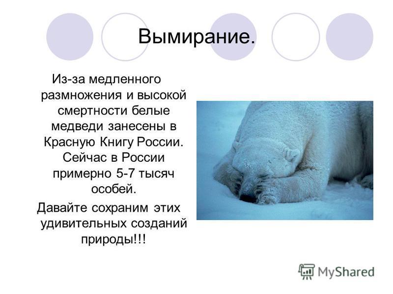 Вымирание. Из-за медленного размножения и высокой смертности белые медведи занесены в Красную Книгу России. Сейчас в России примерно 5-7 тысяч особей. Давайте сохраним этих удивительных созданий природы!!!