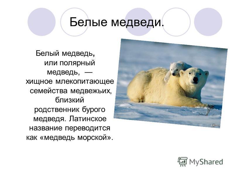 Белые медведи. Белый медведь, или полярный медведь, хищное млекопитающее семейства медвежьих, близкий родственник бурого медведя. Латинское название переводится как «медведь морской».