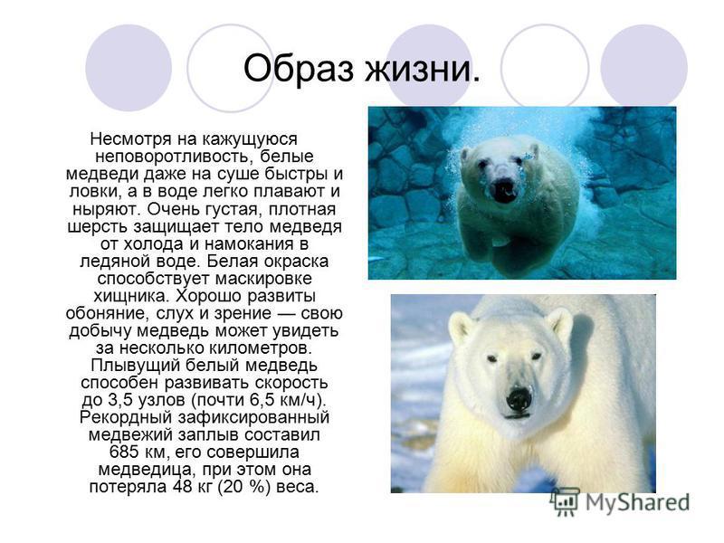 Образ жизни. Несмотря на кажущуюся неповоротливость, белые медведи даже на суше быстры и ловки, а в воде легко плавают и ныряют. Очень густая, плотная шерсть защищает тело медведя от холода и намокания в ледяной воде. Белая окраска способствует маски