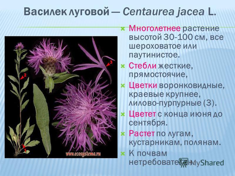 Василек луговой Centaurea jacea L. Многолетнее растение высотой 30-100 см, все шероховатое или паутинистоее. Стебли жесткие, прямостоячие, Цветки воронковидные, краевые крупнее, лилово-пурпурные (3). Цветет с конца июня до сентября. Растет по лугам,