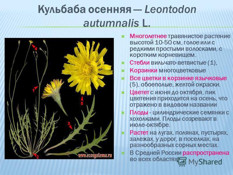 Кульбаба осенняя Leontodon autumnalis L. Многолетнее травянистое растение высотой 10-50 см, голое или с редкими простыми волосками, с коротким корневищем. Стебли вильчато-ветвистые (1), Корзинки многоцветковые Все цветки в корзинке язычковые (5), обо