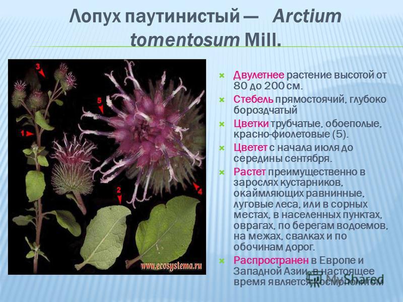 Лопух паутинистый Arctium tomentosum Mill. Двулетнее растение высотой от 80 до 200 см. Стебель прямостоячий, глубоко бороздчатый Цветки трубчатые, обоеполые, красно-фиолетовые (5). Цветет с начала июля до середины сентября. Растет преимущественно в з